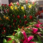 Brilliant bromeliads in Florida TPIE bromeliads color