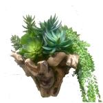 Wooden bowl succulent