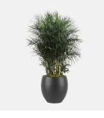 Chamaedorea Seifrizii Bamboo Palm