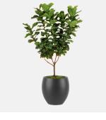 Ficus Lyrata Standard 1