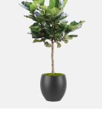 Ficus Lyrata Standard 2