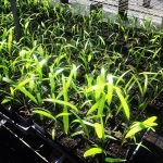1 year old Rhaphis Palms Grow 1 per year Fascinatinghellip