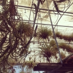 Hand picking the rarest and amazing Tillandsia for a specialhellip