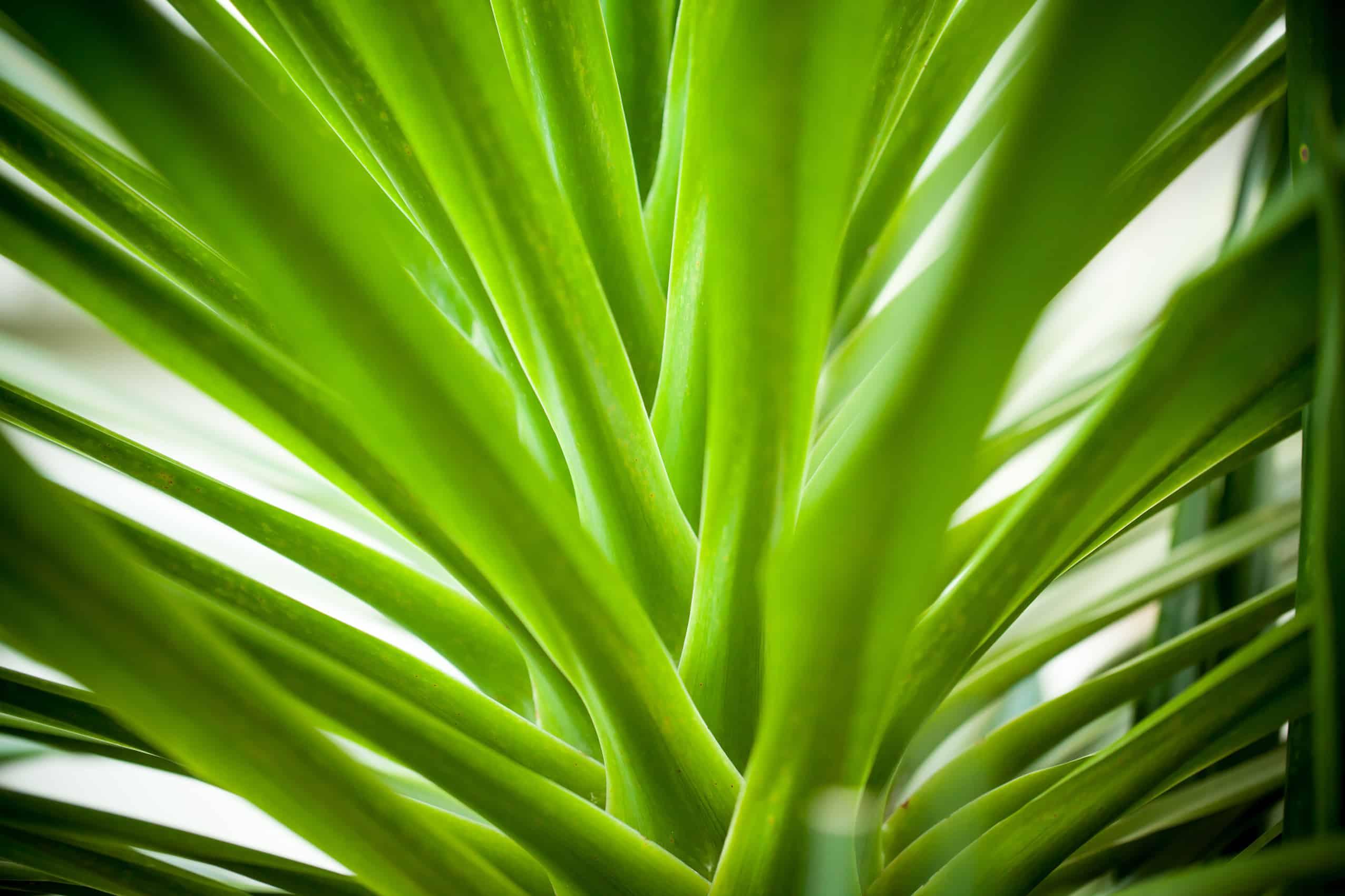 Dracaena arborea plant plantscapers for Plante dracaena