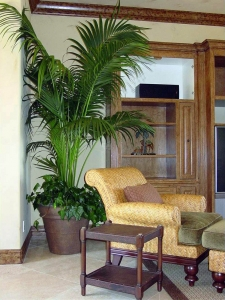 Kentia palm is an elegant plant for the indoors.