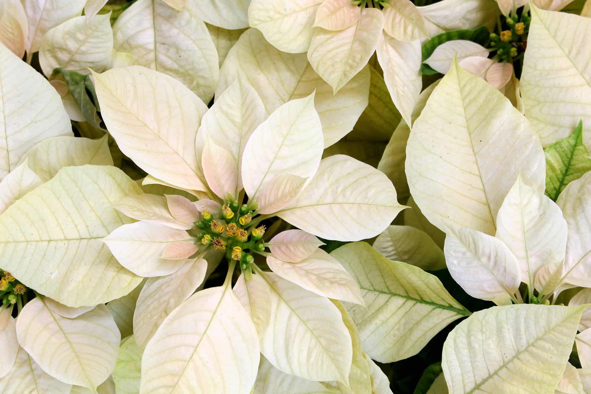 Poinsettia points to ponder plantscapers