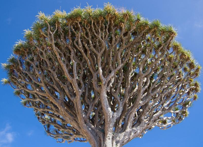 dragon tree head shutterstock_127322162