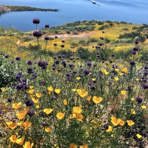 diamond valley lake super bloom anja