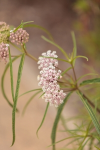 Planting the right type of milkweed is crucial to the monarch's survival.