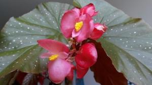 begonia-pink-flower