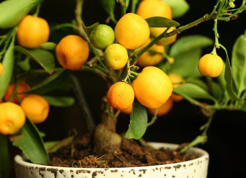 potted-citrus-lemon