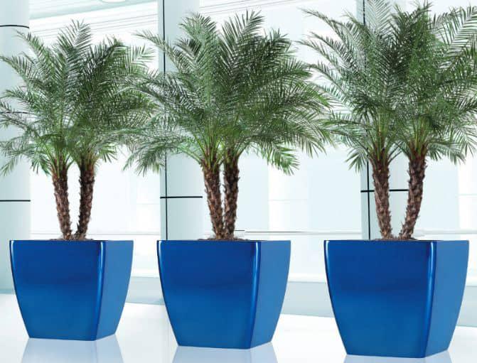 phoenix blue w palms