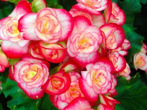 Begonias can be grown indoors in pots for splash of color.