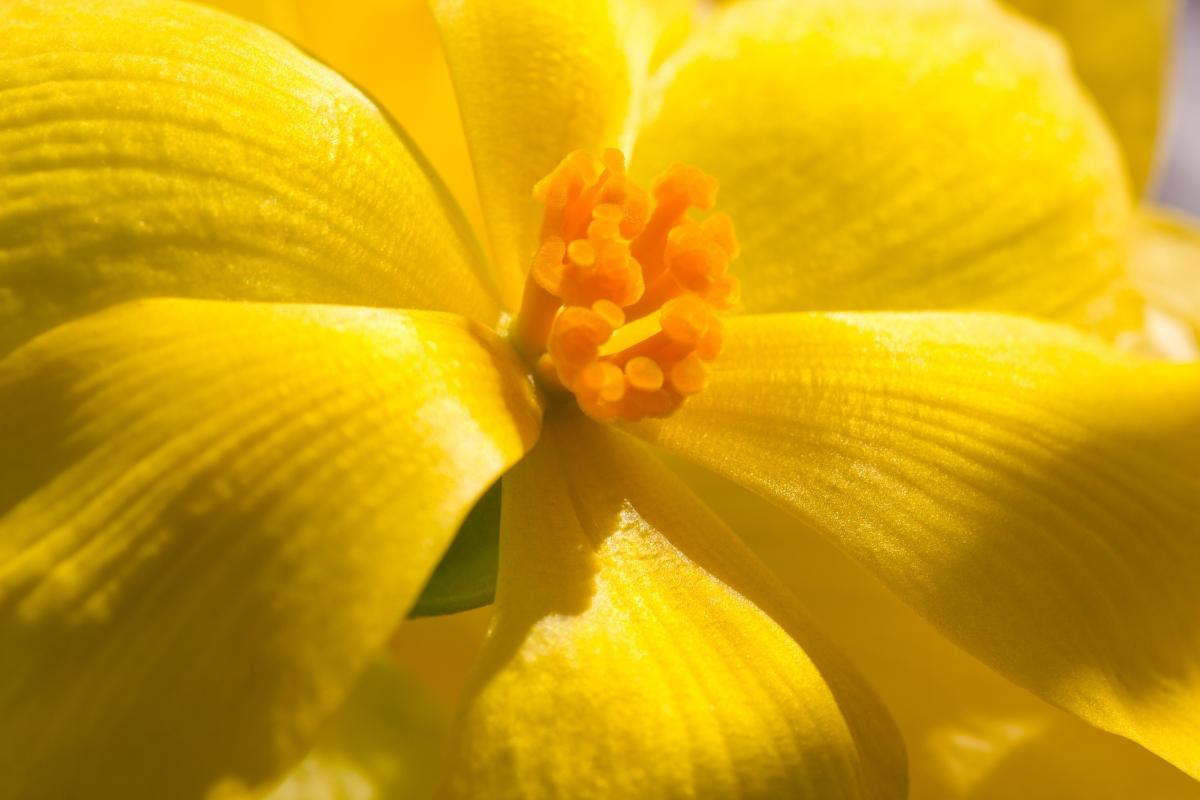 yellow begonia shutterstock_700581448
