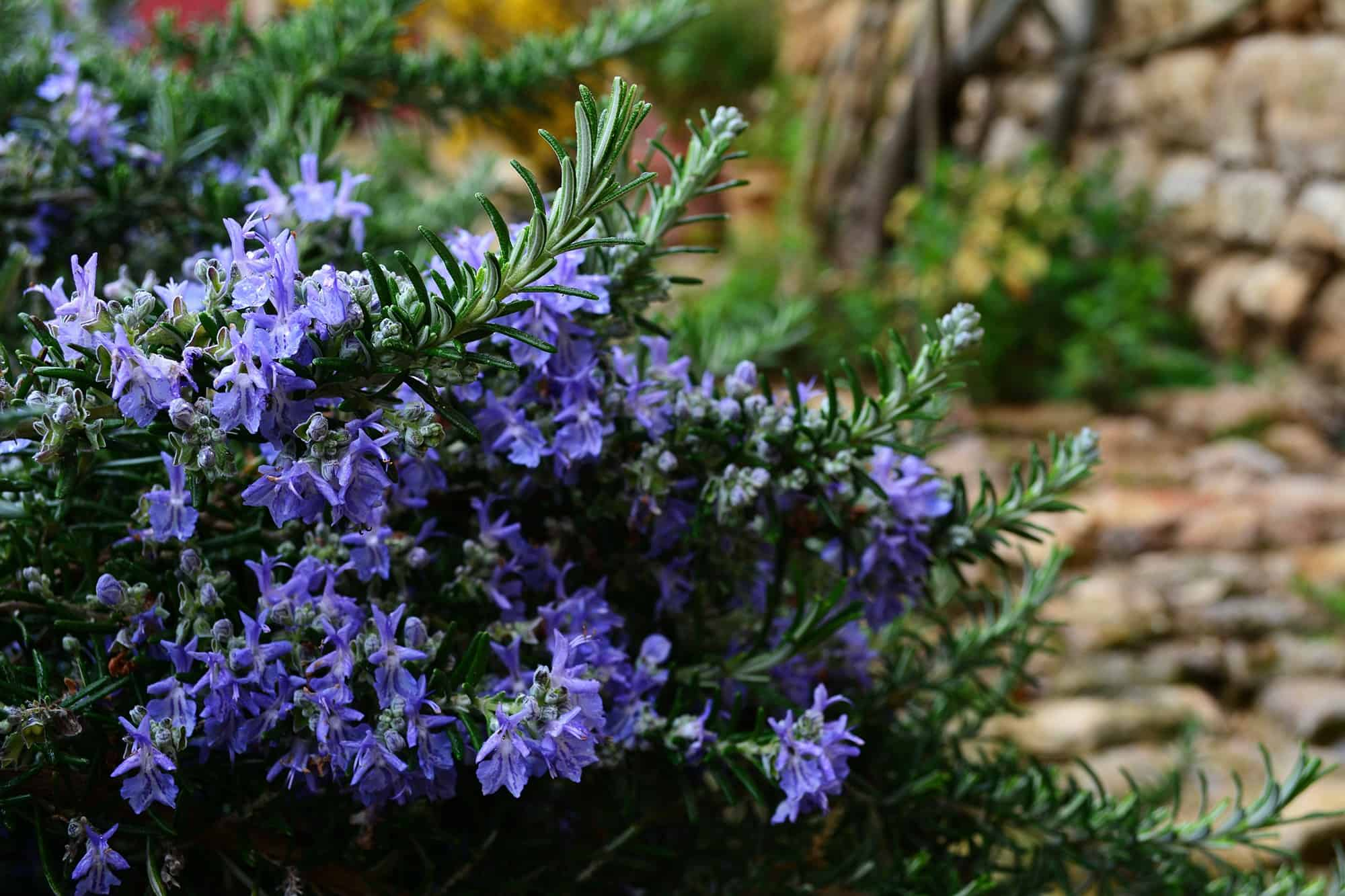 Blue flowers rosemary bush plantscapers blue flowers rosemary bush izmirmasajfo