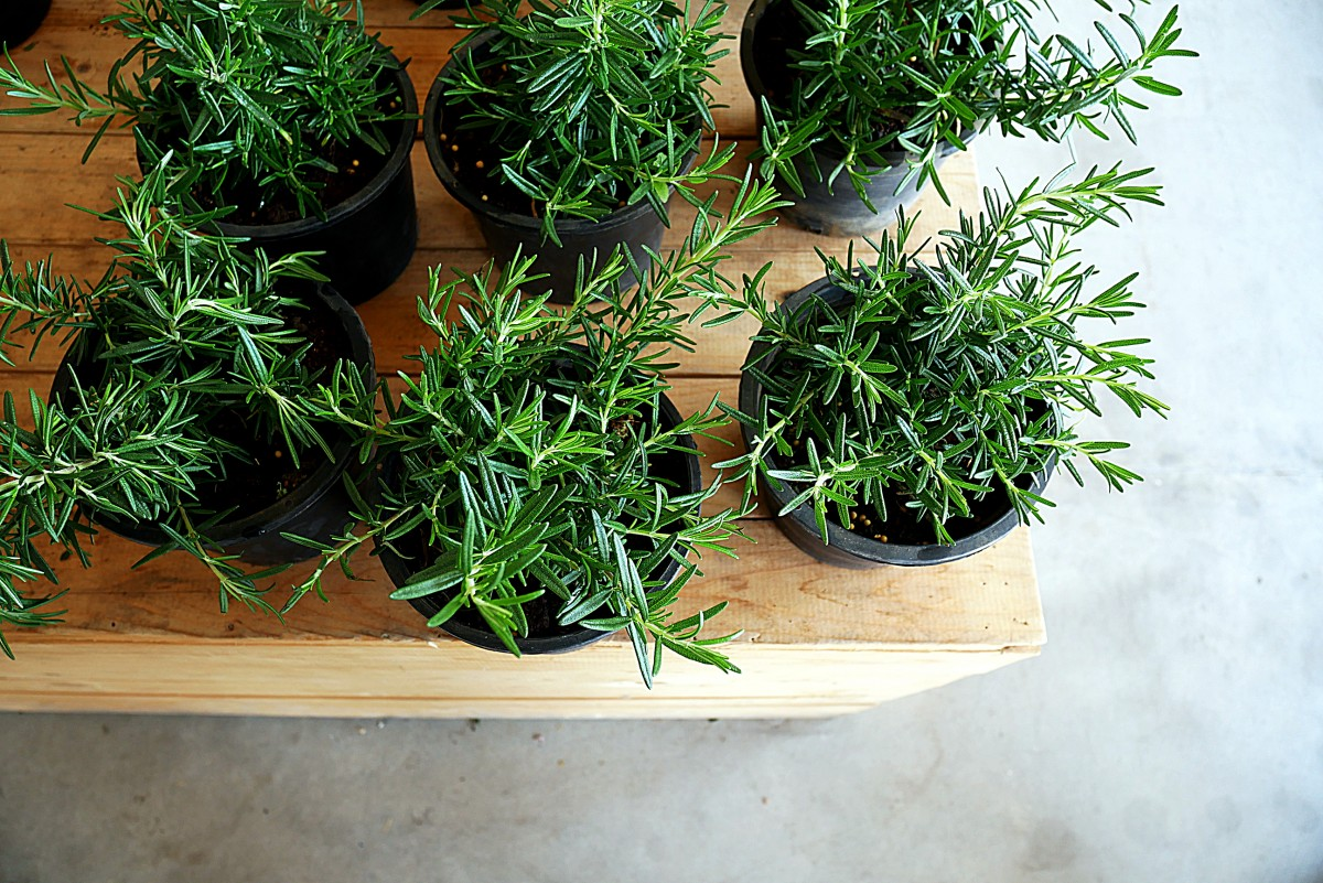 How to grow fragrant rosemary at home