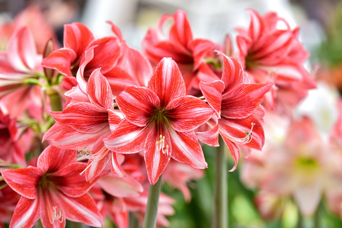 how to take care of an amaryllis indoors