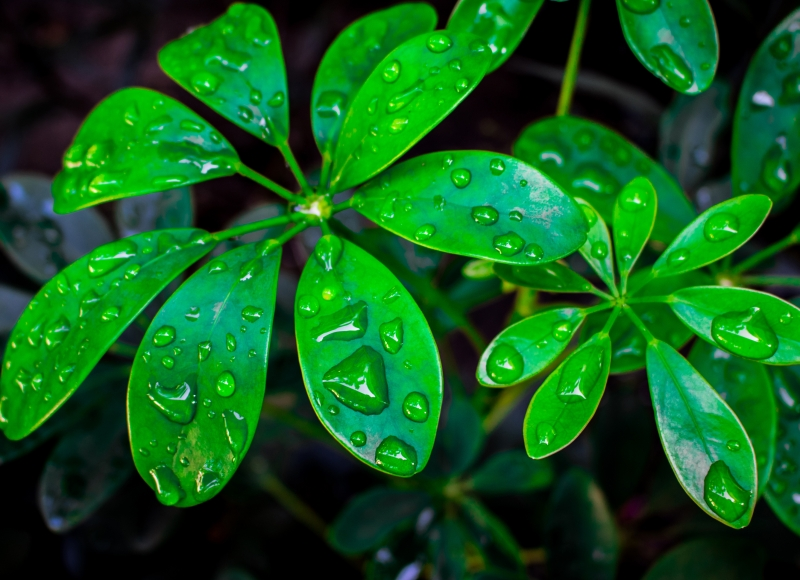 umbrella-plant