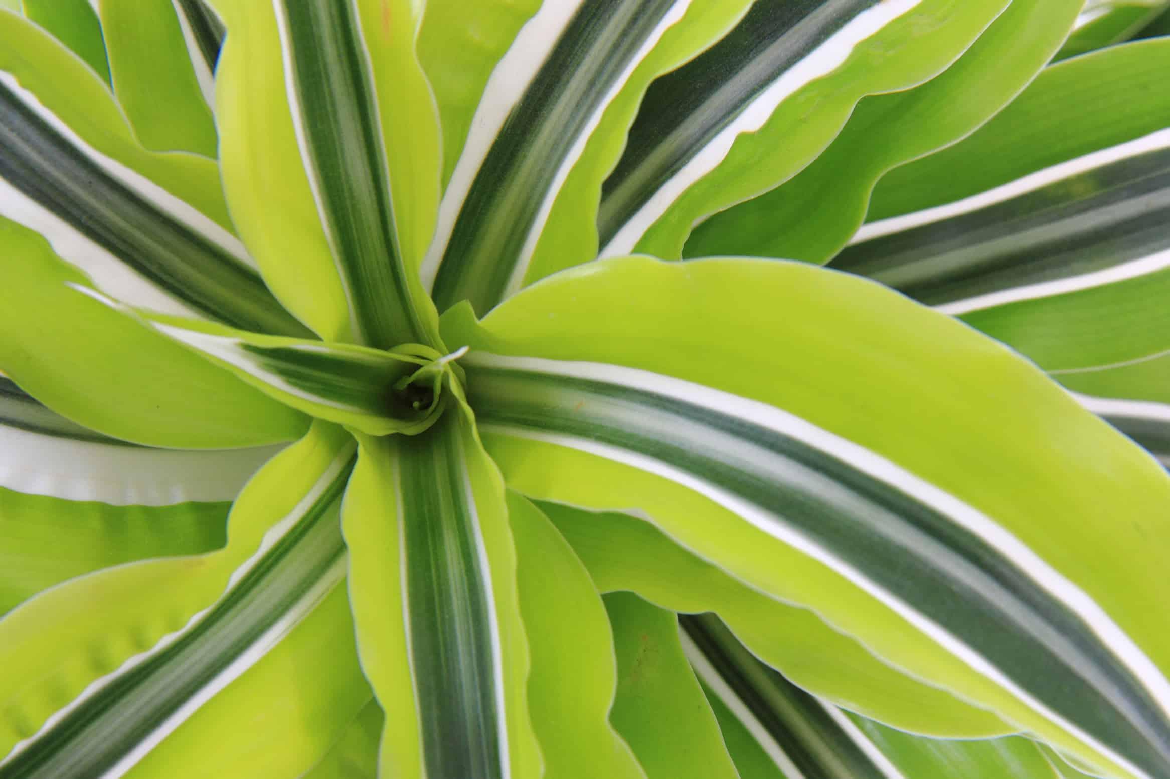 Maintaining Dracaenas - Plantscapers